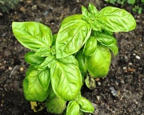 Piante antizanzare piante da giardino for Piante da giardino soleggiato