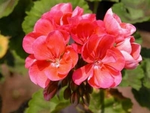 piante antizanzare - Piante da giardino
