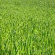 Prato gramigna prato prato in gramigna - Quando seminare erba giardino ...