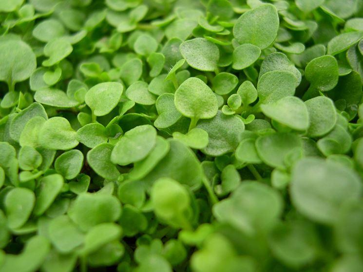 prato verde dichondra
